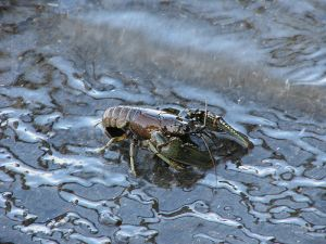 Orconectes virilis, one of the crayfish species indigenous to southwestern Minnesota.