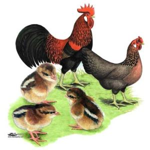 Wilder's favorite breed of chicken was the Brown Leghorn.